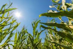 Campo do milho ou do milho que cresce sobre nos raios do sol Imagens de Stock