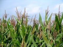 Campo do milho verde Fotos de Stock Royalty Free
