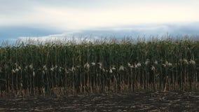 Campo do milho, milho, vista lateral filme