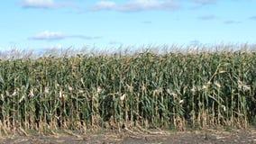 Campo do milho, milho, vista lateral video estoque