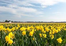 Campo do narciso nos Países Baixos Foto de Stock