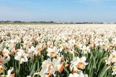 Campo do narciso nos Países Baixos Fotografia de Stock