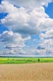 Campo do ouro de trigo Foto de Stock Royalty Free