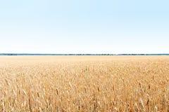 Campo do ouro de trigo A colheita é crescente e de amadurecimento sob o céu azul Foto de Stock Royalty Free
