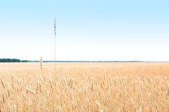 Campo do ouro de trigo A colheita é crescente e de amadurecimento sob o céu azul Fotografia de Stock