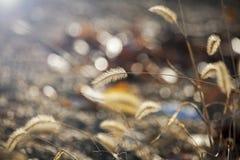 Campo do ouro verde Foto de Stock