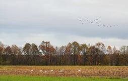 Campo do outono e pássaros, Lituânia Fotos de Stock