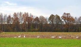 Campo do outono e pássaros, Lituânia Imagem de Stock Royalty Free