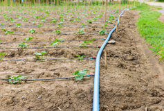 Campo do pepino que cresce com sistema de irrigação do gotejamento Fotos de Stock