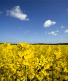 Campo do Rapeseed amarelo Fotografia de Stock Royalty Free