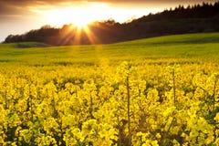 Campo do Rapeseed com Sunburst imagens de stock