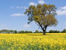 Campo do Rapeseed, Inglaterra Imagem de Stock