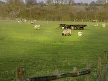 Campo do reboque rodado vermelho dos cordeiros Fotografia de Stock Royalty Free