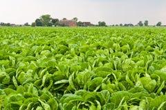 Campo do repolho verde fotos de stock