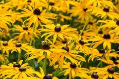 Campo do rudbeckia com uma abelha Imagem de Stock