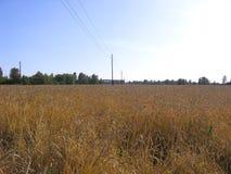 Campo do russo com as orelhas maduras do trigo dourado maduro no outono foto de stock royalty free