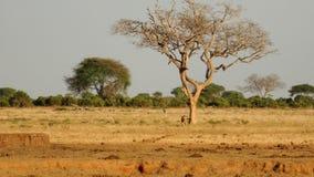 Campo do savana na temporada de ver?o foto de stock