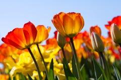 Campo do sol das tulipas na primavera Imagens de Stock
