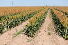 Campo do sorghum de grão ou da colheita do milo em Texas ocidental foto de stock