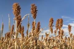 Campo do sorgo em Kansas imagens de stock