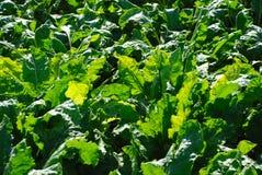 Campo do sugarbeet Imagens de Stock