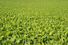 Campo do sugarbeet Fotografia de Stock