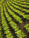 Campo do sugarbeet Fotos de Stock Royalty Free
