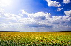 Campo do sunlower de Beauutiful Imagem de Stock