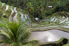 Campo do terraço do arroz, Ubud, Bali, Indonésia Imagens de Stock