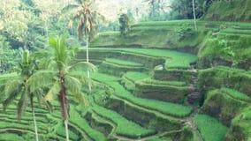 Campo do terraço do arroz Ubud bali indonésia filme