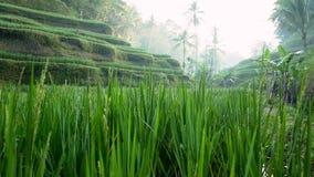 Campo do terraço do arroz Ubud bali indonésia vídeos de arquivo