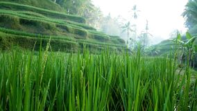 Campo do terraço do arroz que funde no vento Ubud bali indonésia vídeos de arquivo