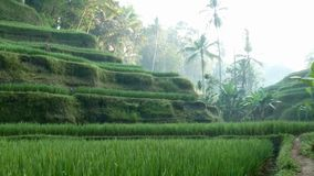 Campo do terraço do arroz que funde no vento Ubud bali indonésia video estoque