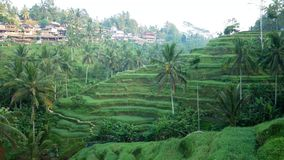 Campo do terraço do arroz Ubud bali indonésia video estoque