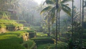 Campo do terraço do arroz Ubud bali indonésia video estoque