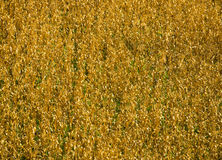 Campo do teste padrão seco do milho Fotografia de Stock