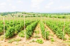 Campo do tomate Imagens de Stock