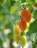 Campo do tomate Fotografia de Stock