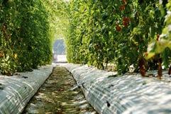 Campo do tomate na vila Imagem de Stock