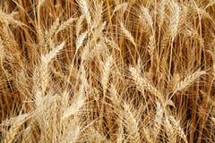 Campo do trigo amarelo maduro Imagem de Stock