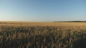 Campo do trigo de amadurecimento contra o céu azul Os Spikelets do trigo com grão agitam o vento A favor do meio ambiente vídeos de arquivo