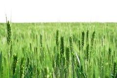 Campo do trigo de florescência Imagem de Stock Royalty Free