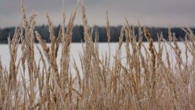 Campo do trigo de inverno filme
