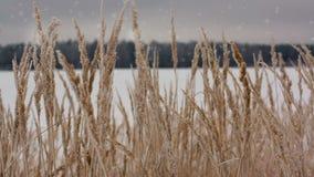 Campo do trigo de inverno com flocos de neve video estoque