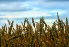 Campo do trigo dourado Fotografia de Stock Royalty Free