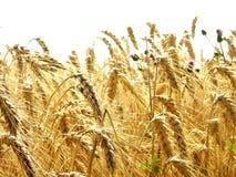 Campo do trigo dourado mim imagem de stock royalty free