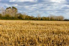 Campo do trigo dourado sob o céu azul e as nuvens fotos de stock royalty free