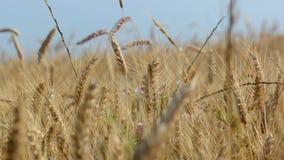 Campo do trigo maduro filme