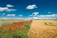 Campo do trigo maduro Fotografia de Stock