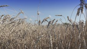 Campo do trigo maduro dourado pronto para ser colhido no dia ensolarado do verão filme